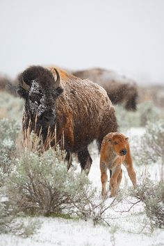 American Bison and calf in Grand Teton National Park, Wyoming (photo by Nate Zeman)