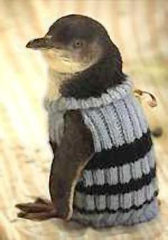 Penguins with sweaters