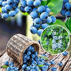 Afin Nord Blue in GradinaMax Pretty Pictures, Amazing Art, Blueberry, Food Photography, Healthy Recipes, Fruit, Free Hit, Type 1, Trees