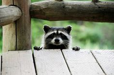 The only racoon I've seen that I think is adorable...<3