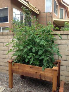 Tomatoes week 6