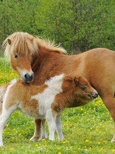 Baby horses, cute horses, beautiful horses, all the pretty horses, mini Baby Horses, Cute Horses, Mini Horses, Barnyard Animals, Cute Baby Animals, All The Pretty Horses, Beautiful Horses, Miniature Ponies, Mini Pony