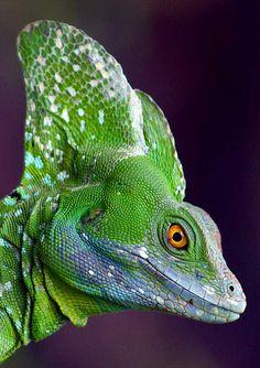 The plumed basilisk is a species of lizard native to Costa Rica. Reptiles Et Amphibiens, Mammals, Beautiful Creatures, Animals Beautiful, Cute Animals, All Gods Creatures, Fauna, Exotic Pets, Pet Birds