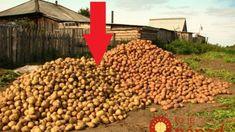 Bohatá úroda zemiakov bez roboty: Gazda z Telgártu ukázal, ako pestovať zemiaky bez orania, okopávania a zberania mandelínok! Dog Food Recipes, Gardening, Lawn And Garden, Dog Recipes, Horticulture