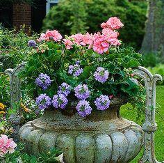Pink geranium, lavender verbena, ivy