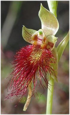 Bearded Orchid - Calochilus Paludosa