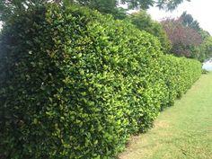 Viburnum Emerald Lustre hedge along back fence. Same as one along back fence in donvale