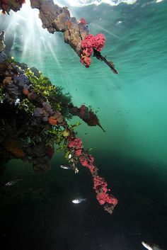 Beautiful sponges hanging on tree roots in the jellyfish lake of the island Kakaban, Indonesia.