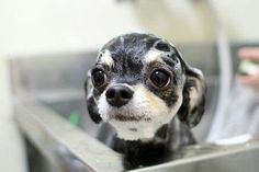 Chihuahua Taking a bath. - BusyBird.com