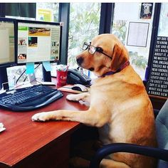 Yellow Lab at the office!