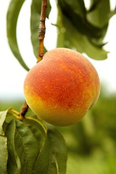 Super Duper Peach Yeah! Peach Dish, Pear, Dishes, Fruit, Food, Plate, Tablewares, The Fruit, Meals
