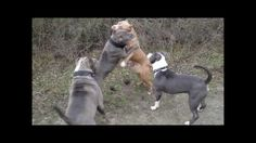 Click over the to watch the video of XXL American Bully Pitbulls playing at the beach.