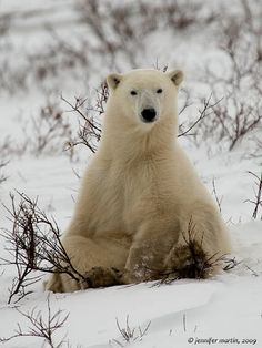 Polar Bear in Churchill, Manitoba, Canada by jenmartin, via Flickr.  http://www.lonelyplanet.com/canada/manitoba