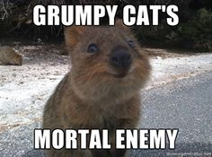 The quokka - an animal whose name is worth 200 points in Words with Friends.