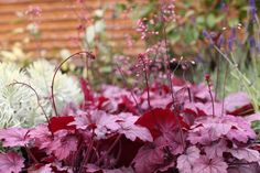 Heuchera 'Georgia Plum' - Eye catching, year round rose-purple foliage with a silvery overlay. Purple-pink flowers from Spring - Autumn. H 20cm, S 35cm. www.thepavilion