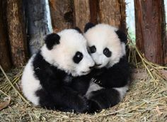 "Twin Panda Cubs (Born on Aug 16, 2014) Lu Lu & ""Xi Xi""."