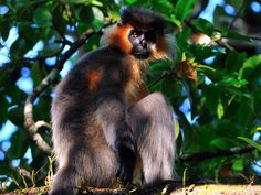 ASIA - Capped langur (Trachypithecus pileatus) is a species of primate in the Cercopithecidae family. It is found in Bangladesh, Nepal, Bhutan, China, India, and Myanmar. Its natural habitat is subtropical or tropical dry forests. It is threatened by habitat loss. There are four recognized subspecies of this lutung: Trachypithecus pileatus pileatus, Trachypithecus pileatus durga, Trachypithecus pileatus brahma, and Trachypithecus pileatus tenebricus