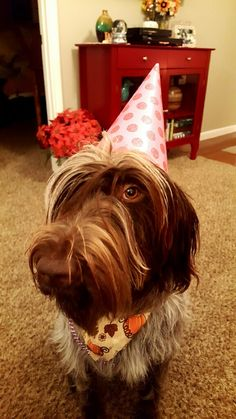Harlee Bay. Wire-haired Pointing Griffon Happy Birthday, Aunt Paula Jean!
