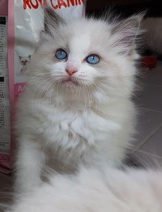 Blue Bi-Colour Ragdoll Kitten