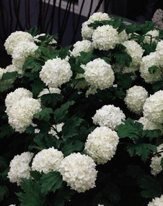 Snowball Bush ... Want for the garden!