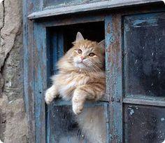 chat roux a la fenetre