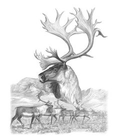 north-american-nobility-caribou-laurie-mcginley.jpg (600×715)