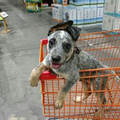 Treat aisle, please Aussie Cattle Dog, Austrailian Cattle Dog, Cute Puppies, Cute Dogs, Dogs And Puppies, Doggies, Cute Creatures, Cute Baby Animals, Dog Pictures