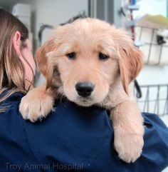 """Look into my eyes, you have an overwhelming urge to say, 'awww'"". This is Lego. #goldenretriever"