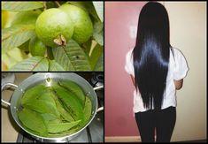 Los beneficios de la guayaba para aumentar y hacer crecer el cabello Grow Hair, Afro, Plant Leaves, Lime, Fruit, Plants, Ideas, Medicinal Plants, Guava Leaves
