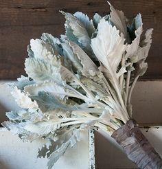 "New Look Dusty Miller   Large, deeply-lobed, flat leaves. Long lasting and carefree bedding plant. The silvery foliage can also be used as an elegant cut-flower filler in short bouquets. Lateral branches will continue to grow even when center has been cut. Perennial in zones 8-10. Ht. 8-18""."