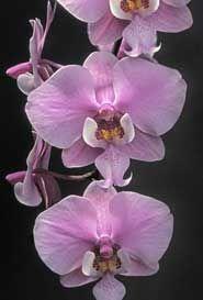 Macro of Phalaenopsis schilleriana 'Karen Rockwell' HCC/AOS - © 2005 Greg Allikas