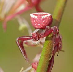Pink Crab Spider • Thomisus onustus • Thomise enflée •  #arachnid #arraignée #spider #épeire #closeup #macro #macrophoto #macrophotography #macrophotographie #photo #photography #photographie #photographer #picture #image #animal #nature #insect • www.entomophotopassion.com