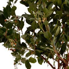 L'arbousier est un arbuste mal connu qui a pourtant pleins de points forts. Il a de belles feuilles sombres et une croissance rapide qui en font un brise-vue naturelle. Il a des jolies fleurs dès le mois d'Octobre qui persistent pendant les gelées. Il porte des fruits comestibles les arbouses dont on fait des jus. Il mérite d'être connu non ?
