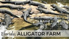 Alligators are fascinating. You can see them from very close and learn about them at the St. Augustine Alligator Farm in Florida. It's a great destination fo. Florida Usa, The St, Virtual Tour, Museums, Family Travel, Festivals, Travel Inspiration, Tours, Popular