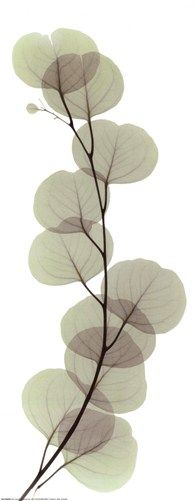 Image detail for -Floral & Botanical > Flowers > X-Ray Botanicals: Art Prints, Posters ...