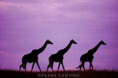 Masai giraffes at sunset, Masai Mara Reserve, Kenya by Frans Lanting