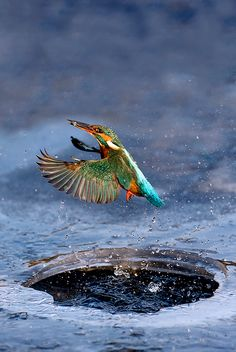 Winter Fisherman. Kingfisher emerging from a hole in the ice with a fish