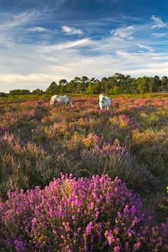 New Forest, Hampshire, England. The New Forest is an area of southern England which includes one of the largest remaining tracts of unenclosed pasture land, heathland, and forest in the heavily populated south east of England. New Forest Pony, Wild Forest, Beautiful World, Beautiful Places, Foto Picture, The Road, British Countryside, Belle Photo, Great Britain