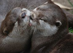 Otter gives his friend a nice chin lick - July 22, 2015