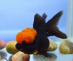 Unique Black Oranda with a Red Cap