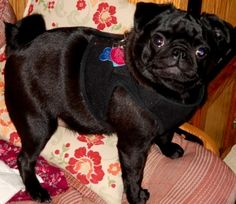 This is what a teeny tiny smarty pants pug looks like (LOL)