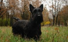 Scottish Terrier Computer Background