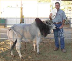 Zebu/Miniature Brahman bull so cute