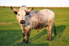 Tafelsig Nguni Cattle :: Herd Sires:: Malmesbury Nguni cattle breeder Cedric Stoch - Largest registered Nguni herd in South Africa Zebu Cattle, Longhorn Cattle, Dairy Cattle, Animal Agriculture, Exotic Pets, Exotic Animals, Work With Animals, Small Farm, Farm Animals
