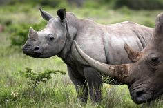 Baby rhino and mother close by