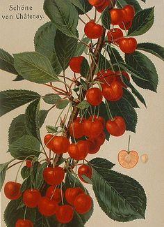 stilllifequickheart: Johann Georg Conrad Oberdieck Schone von Chatenay 1881