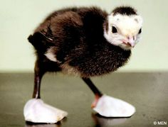 "turkey chick with ""shoes"""