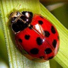 Red ladybug