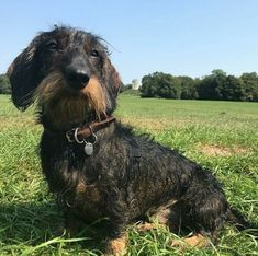 Scottish Terrier, Scruffy Dogs, Wire Haired Dachshund, Dachshunds, Doggies, Raining Cats And Dogs, Daschund, Family Dogs, Squirrel