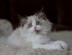 20 Best Ragdoll Kittens images in 2015 | Cats, Kitten for